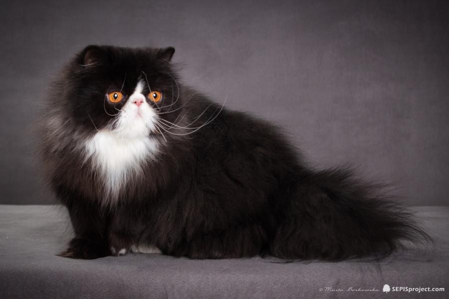 Panda Pers Cfa Icf Reg Persian Cats Cattery Zdzislawa
