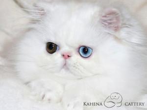 Panda Pers Santana of Kahena