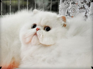 White Tango Panda*PL