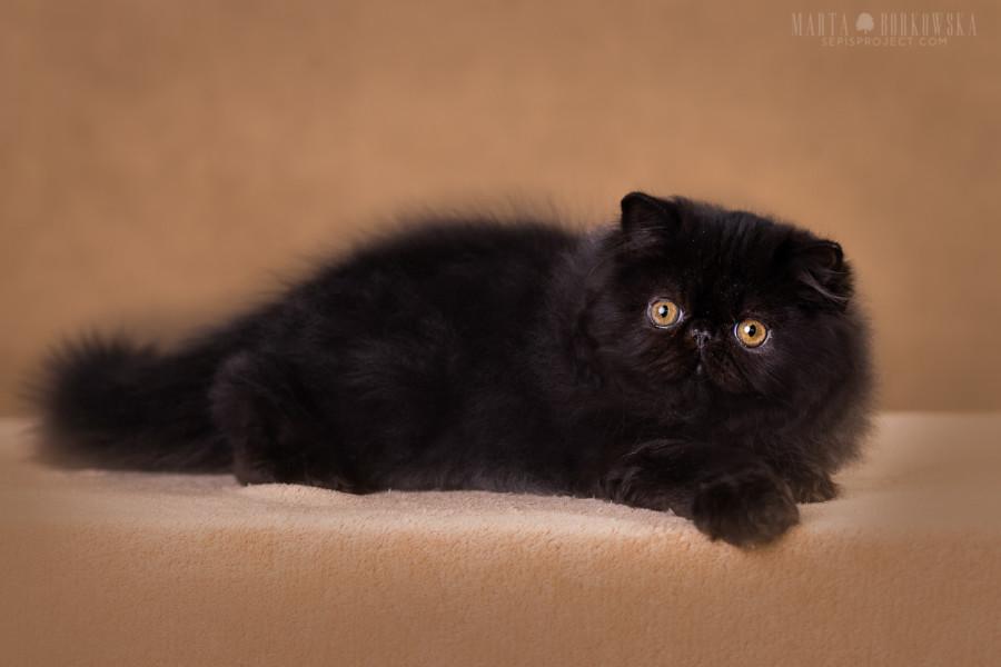 PANDA PERS – CFA & ICF reg  persian cats cattery – Zdzislawa